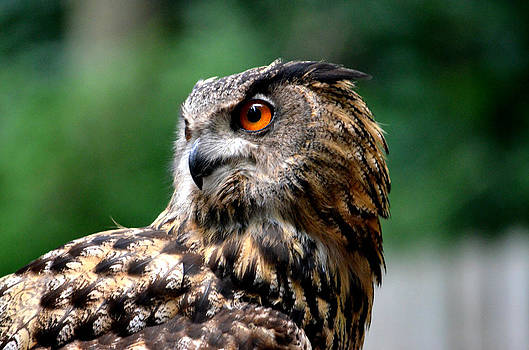 Ronald T Williams - Great Horned Owl