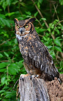 Great Horned Owl by William Culler