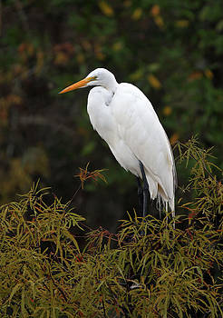 Juergen Roth - Great White Heron in Everglades NP
