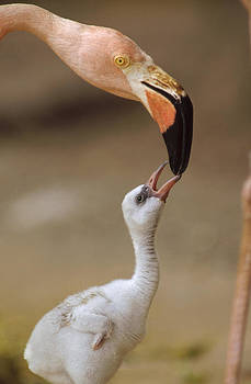 Tim Fitzharris - Greater Flamingo Mother And Chick