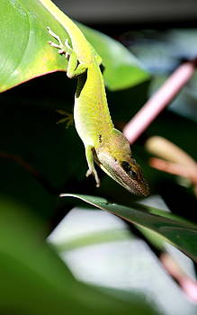 Green Anole by Elizabeth Hart