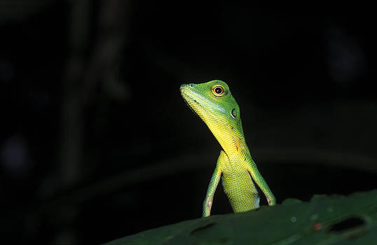 Green Crested Lizard by Michal Cerny