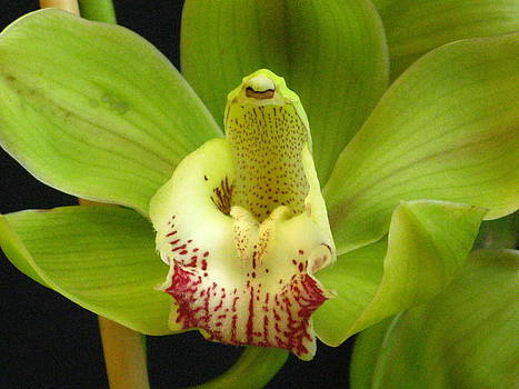 Alfred Ng - green cymbidium orchid