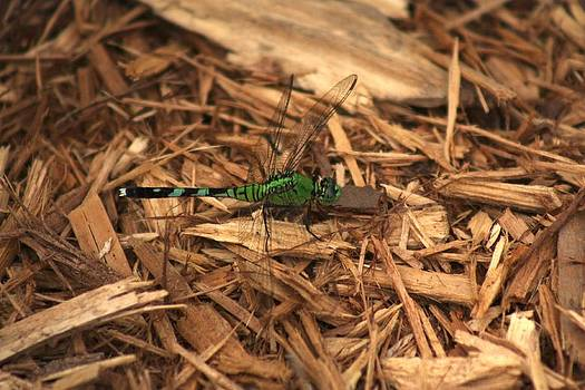 Green Dragonfly by Tena Totaro