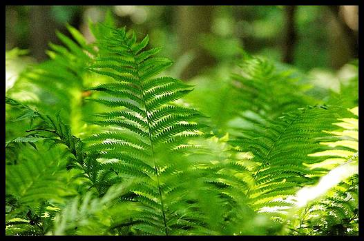 Green Fern close up by Pierre-Marc Cardinal