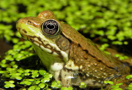 Green Frog in Pond by Griffin Harris