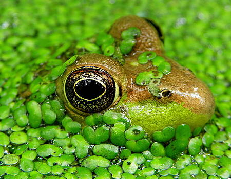 Green Frog in Pond II by Griffin Harris
