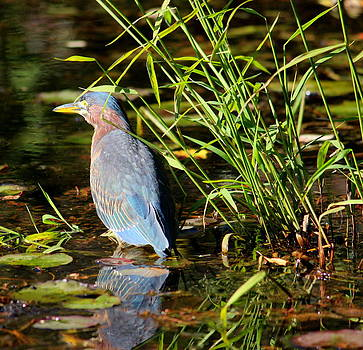 Green Heron by Lisa Jayne Konopka