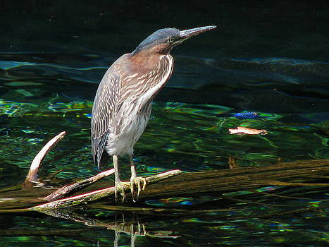 Green heron by Stephen Howell