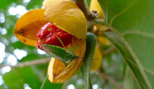 Roy Foos - Green Shield Bug Feeding