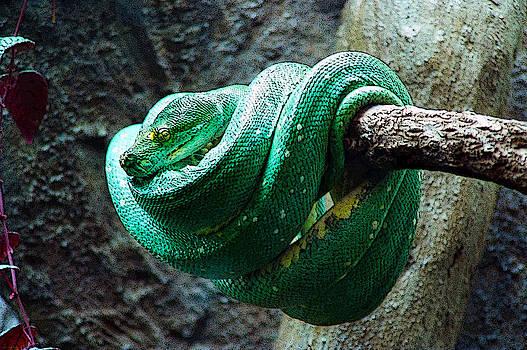 Green Snake by CJ Clark