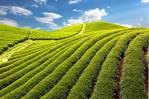 Green tea farm  by Adirek Kata