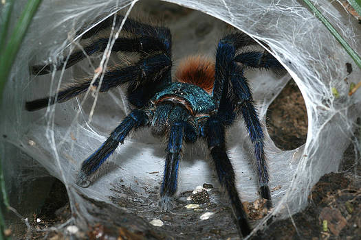 Greenbottle Blue Tarantula by Michal Cerny