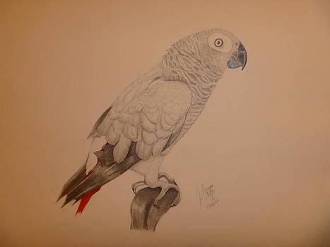 Grey African Parrot by Tonya Hoffe