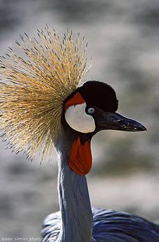 Isaac Silman - Grey Crowned Crane