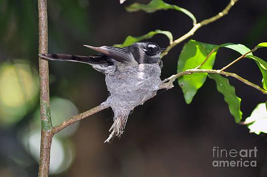 Grey Fantail Nesting by Joanne Kocwin