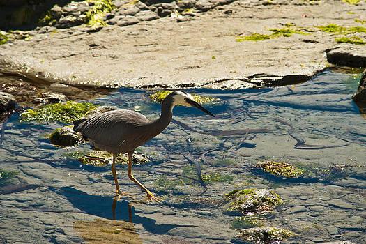 Grey Heron by Graeme Knox