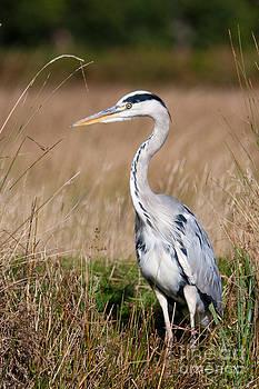 Grey Heron by Pete Reynolds