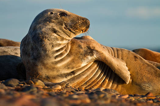 Grey seal Halichoerus grypus watching by Gabor Pozsgai