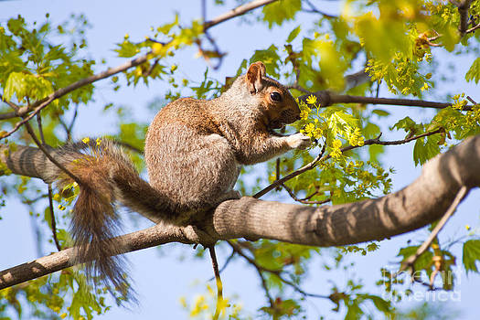 Grey Squirrel Feedingtime by Christine Amstutz