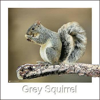 Grey Squirrel by Tom Schmidt