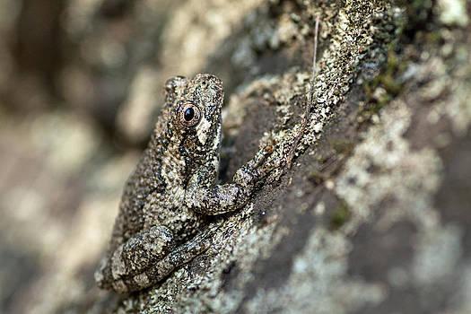 Grey Tree Frog 2 by Dan Lease
