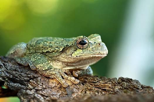 Grey Tree Frog 3 by Dan Lease