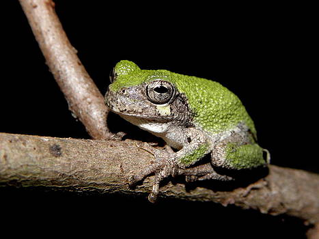 Grey Tree Frog by Griffin Harris