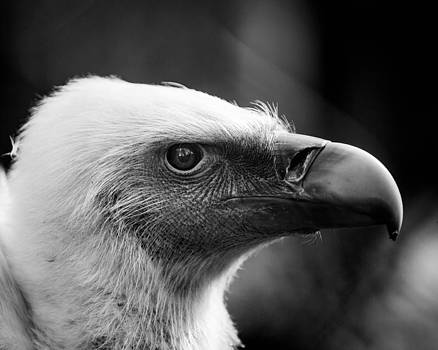 Hakon Soreide - Griffon Vulture