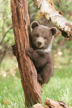 Griz Cub by Donald Knight