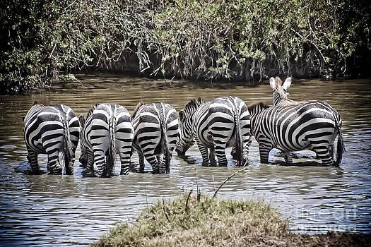 Darcy Michaelchuk - Group of Zebra Cautiously Drinking