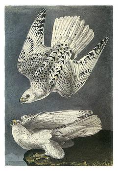 John James Audubon - Gryfalcon