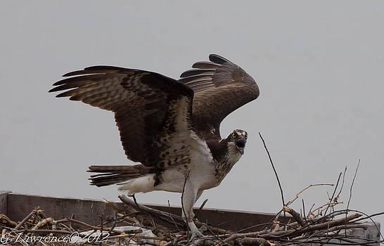 Guarding the Nest  by Glenn Lawrence