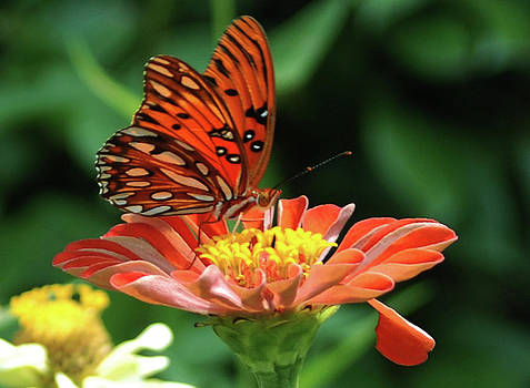 Gulf Fritillary on Zinnia by Kelly Rader