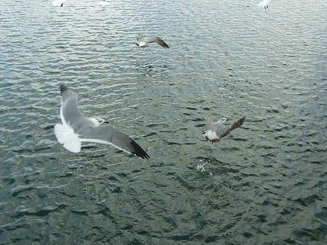 Gulls by Lisa Pedro