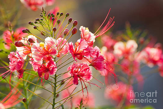 Gulmohar or The flame tree flowers by Jantima  Cha