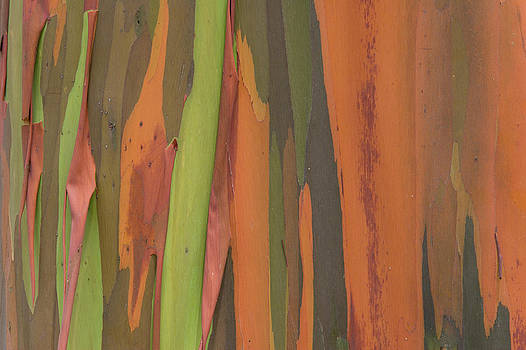 Ingo Arndt - Gum Tree Eucalyptus Sp Bark Detail
