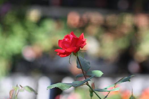 Gymnastic Garden Rose by Connie Koehler