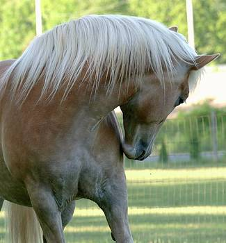 Haflinger by Cindy Carr