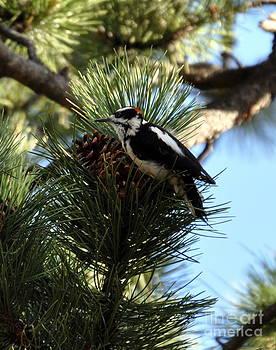 Hairy Woodpecker on Pine Cone by Dorrene BrownButterfield