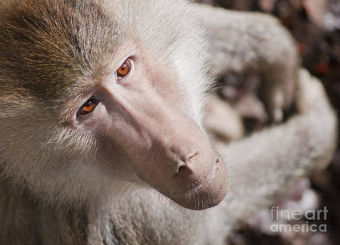 Hamadryas baboon portrait by Andrew  Michael