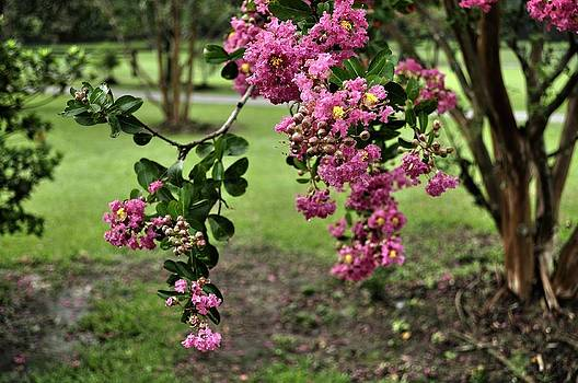 Hanging crepe myrtle by Terry Sita