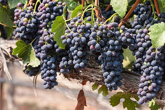 Hanging Wine Grapes by Dina Calvarese
