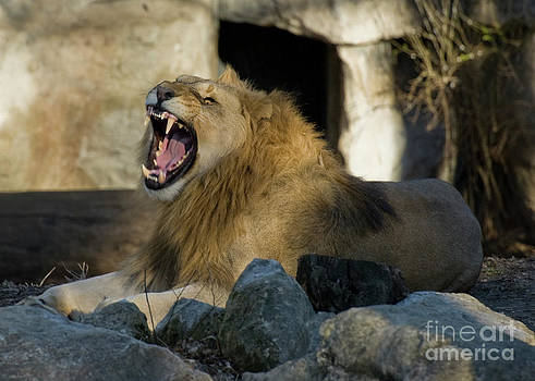 Tim Mulina - Happy Lion