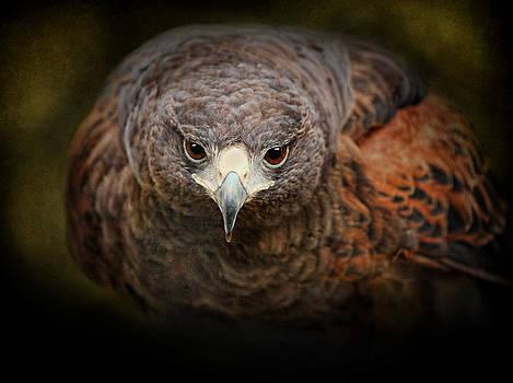 Harris Hawk by Pat Abbott