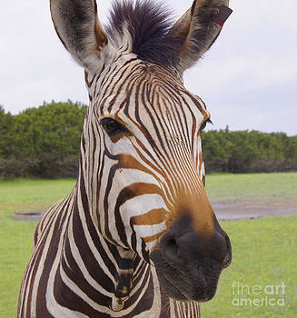 Hartmanns Mountain Zebra by Diana Cox