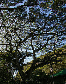 Hawaiian Shade by Christine Burdine