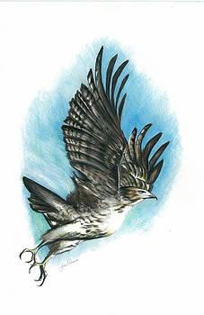 Hawk In Flight  by Jim  Romeo
