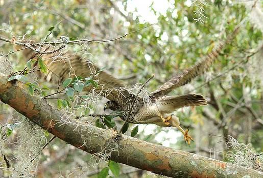 Hawk in Flight by Theresa Willingham