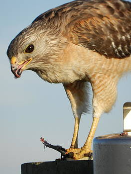 Hawk Meal by Amber Bobbitt